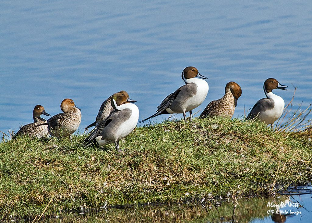 Pin-Tailed-Duck
