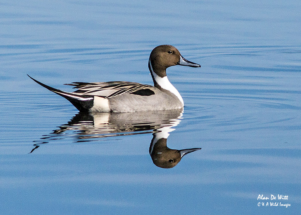 Male Pin Tailed Duck at Merritt Island