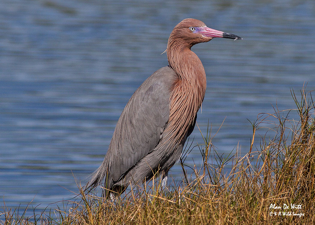 Reddish Egret at Merritt Island