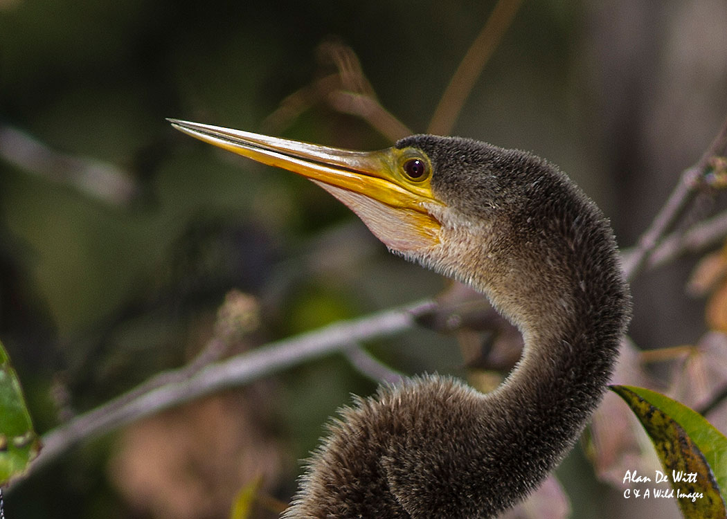 Anhinga at Wakodahatchee Wetlands