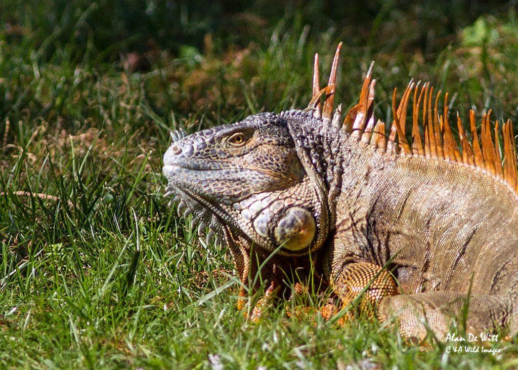 Common-Iguana