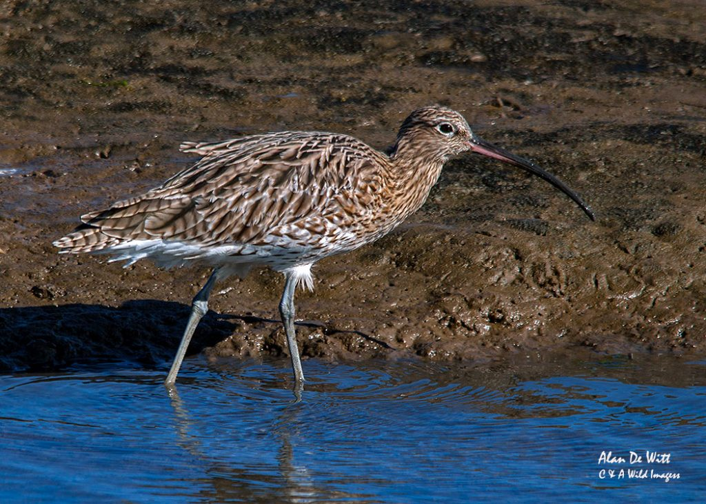 Curlew Europe's largest wading bird