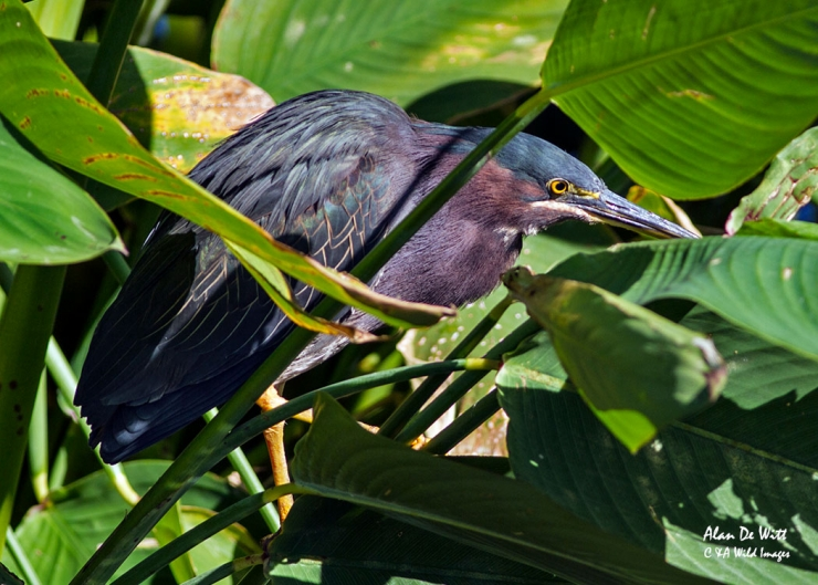 Green Heron at Green Cay, Palm Beach