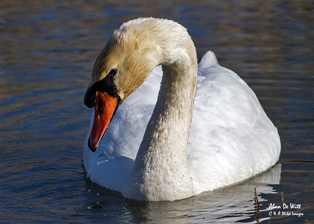 Mute Swan at Titchwell RSPB reserve