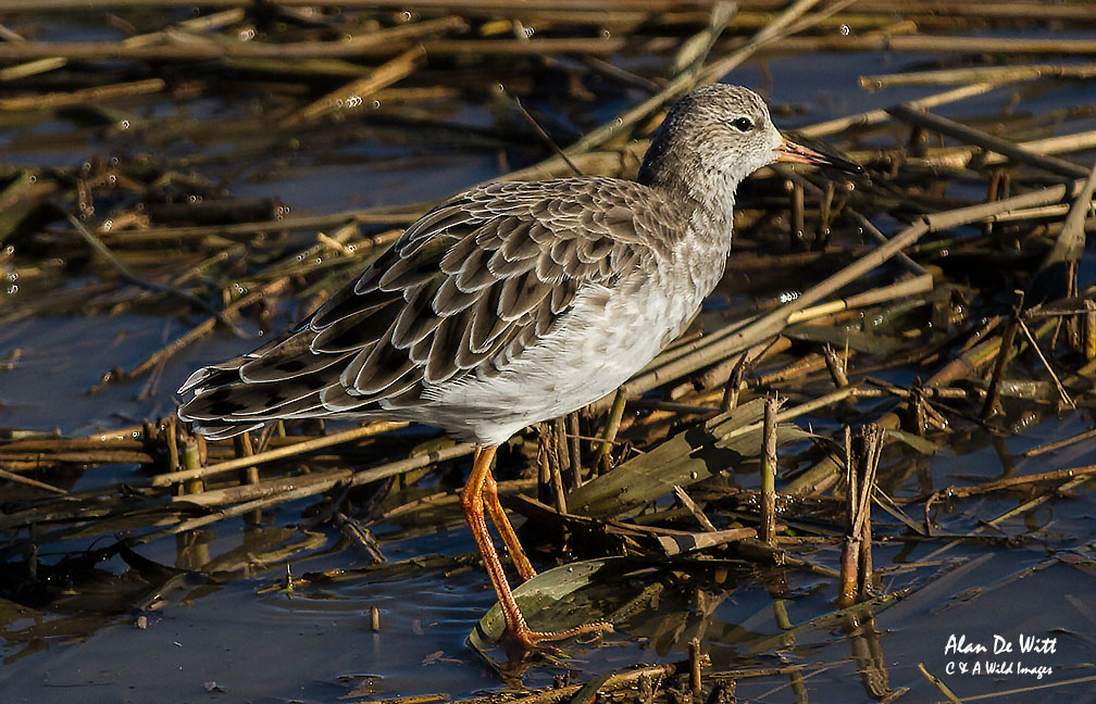 Ruff non breeding plumage