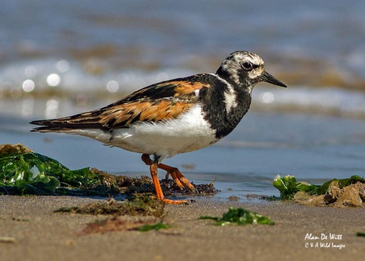 Turnstone breeding plumage