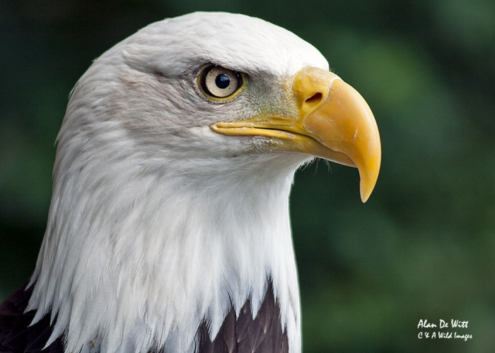 Bald Eagle portrait in Yellowstone National Park