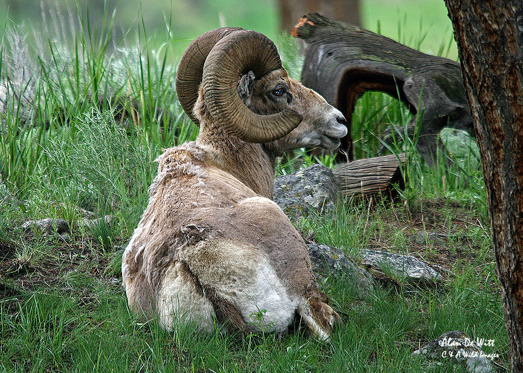 Big Horn Sheep in Lamar Valley, Yellowstone National Park