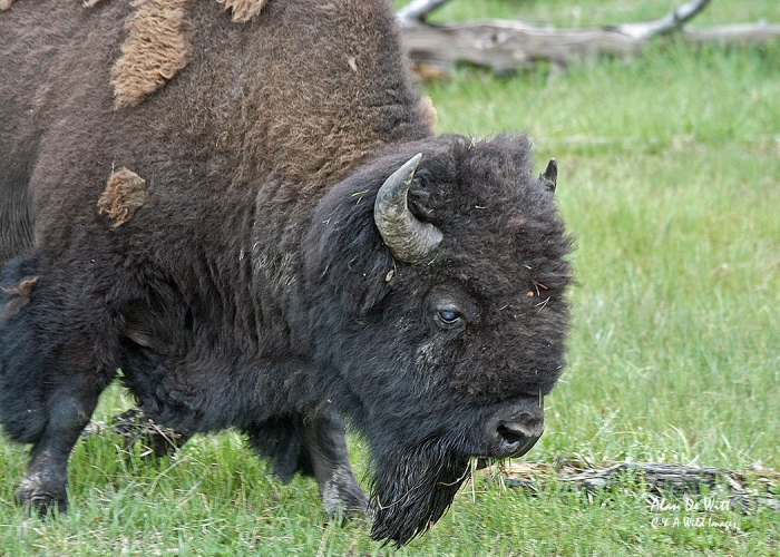 Bison close up in the Lamar Valley, Yellowstone National Park