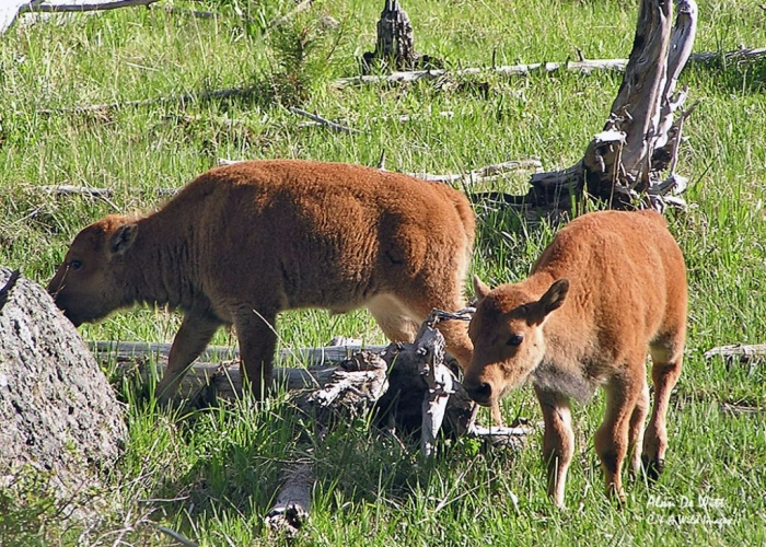 Bison Calves