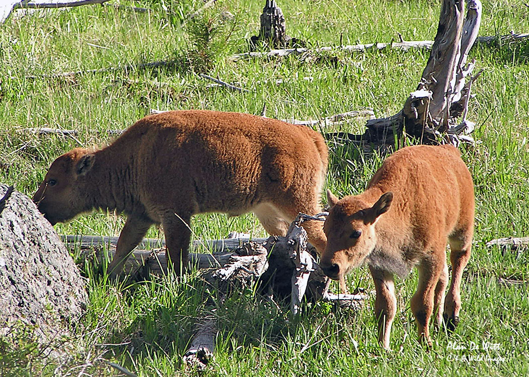 Bison Calves in the Lamar Valley, Yellowstone National Park