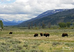 Bison in Yellowstone NP