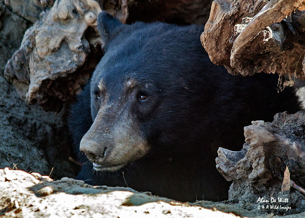 Black Bear in Sequoia National Forest, California