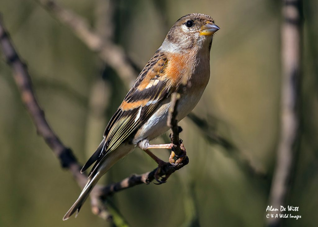 Brambling - male in winter plumage
