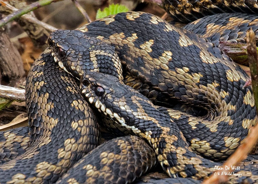 Male Adders at Minsmere