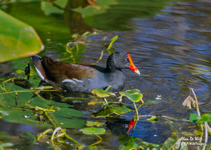 Common Gallinule at  Six Mile Cypress Slough preserve , Fort Myers