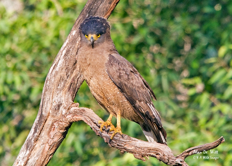 Crested Serpent Eagle in Tadoba National Park