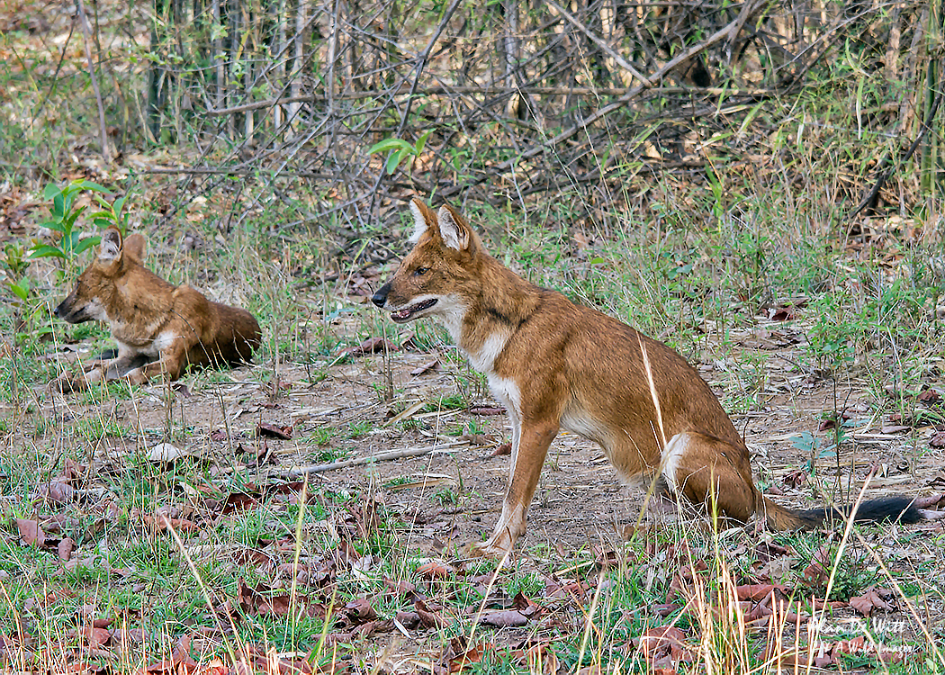 Dhole in Tadoba National Park