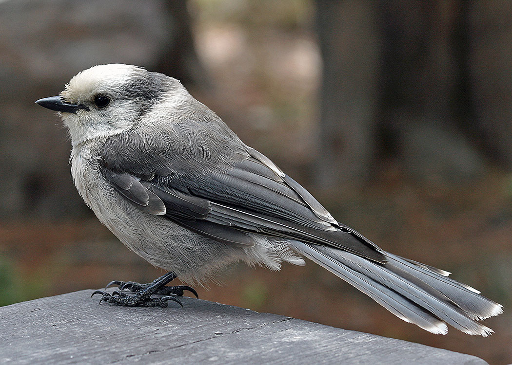 Grey Jay in Yellowstone National Park