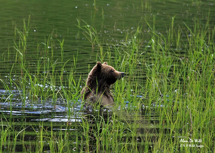 Grizzly Bear in the Lamar Valley, Yellowstone National Park