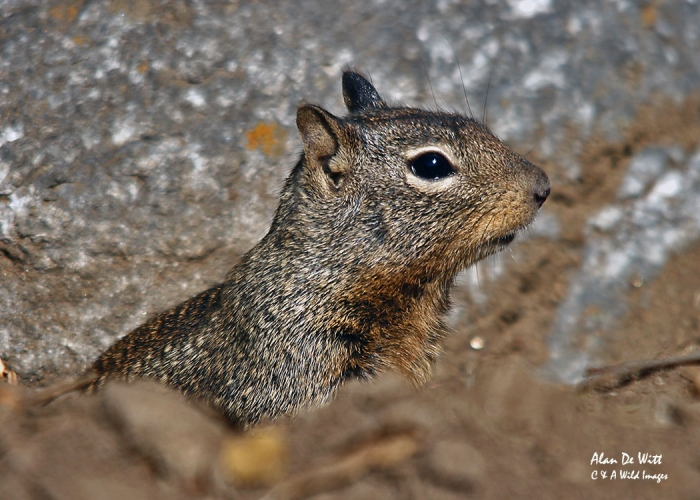 California Ground Squirrel  captured on the  Tuolumne Meadows, Yosemite National Park