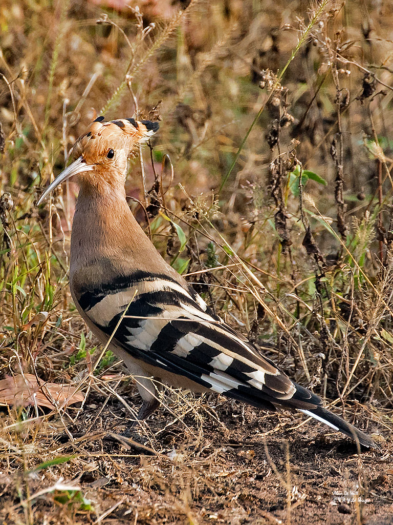 Hoopoe  in Tadoba National Park