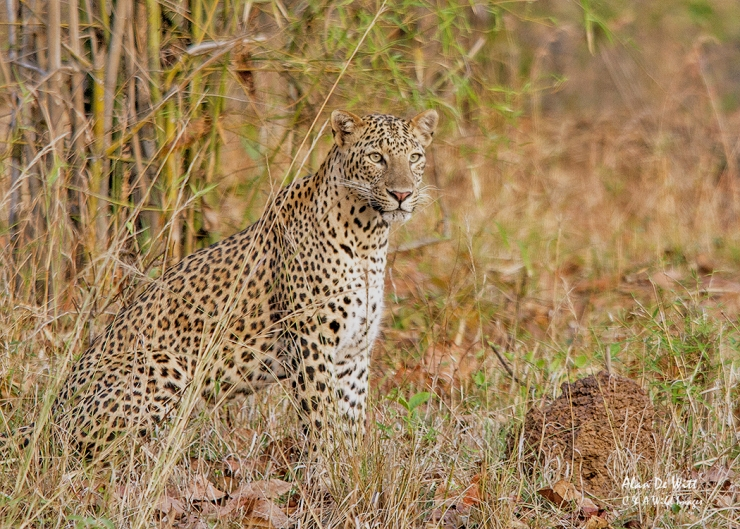 Indian Leopard in Taboba National Park
