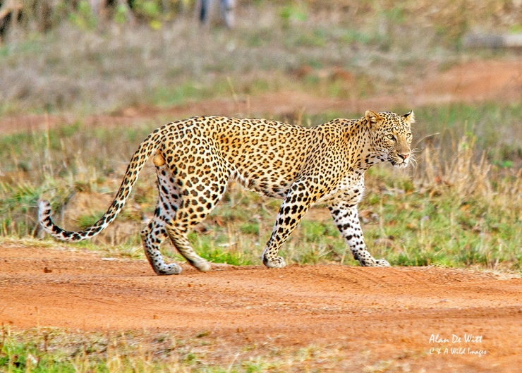 Indian Leopard in Taboba Tiger Reserve
