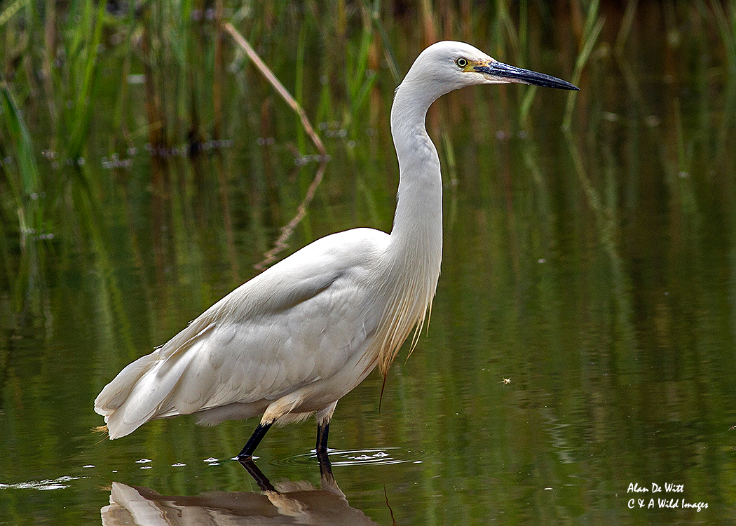 Little Egret at sculthorpe moor nature reserve
