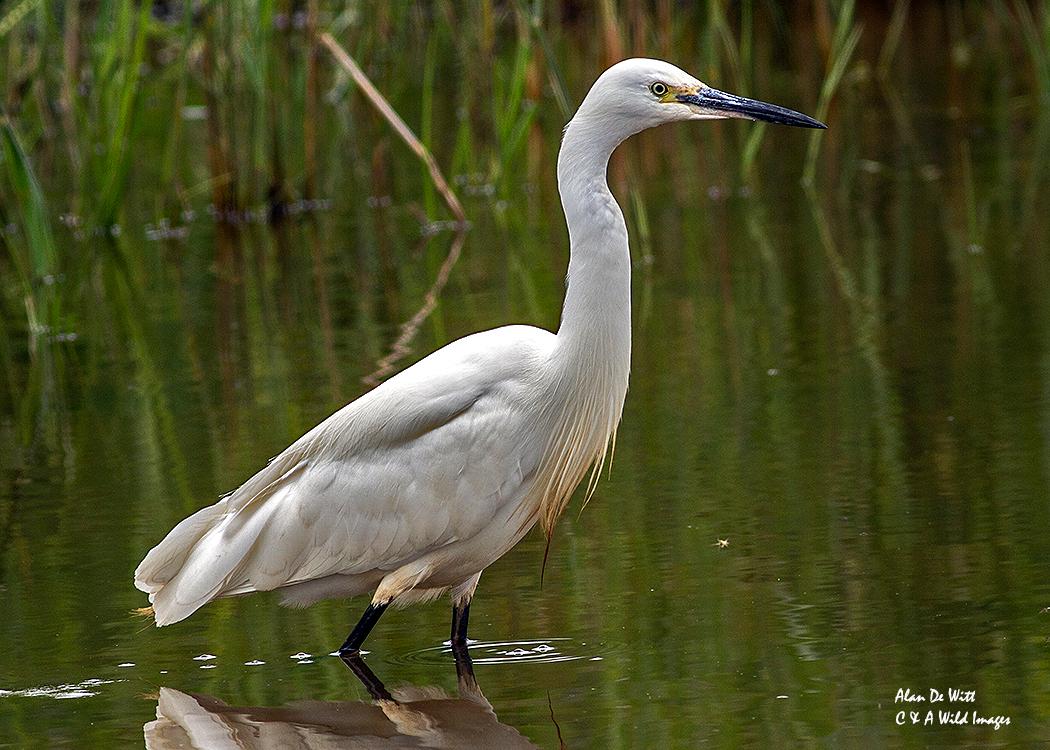 Little Egret at sculthorpe moor nature reserve
