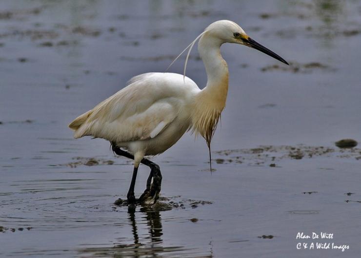 Little Egret at Titchwell