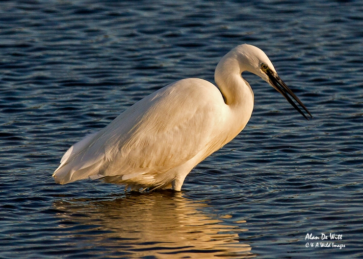 Little Egret at Titchwell