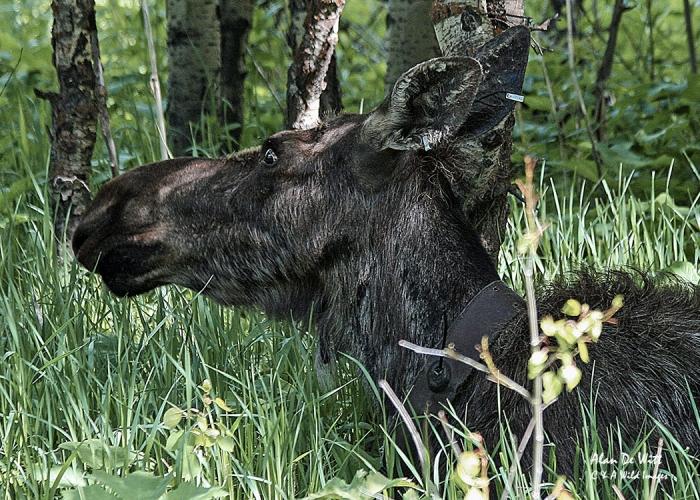 Female Moose in Grand Teton National Park