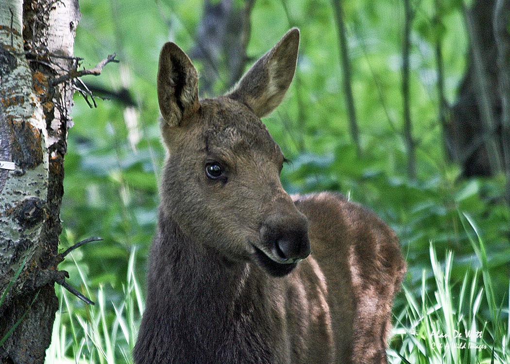 Moose calf in Grand Teton National Park