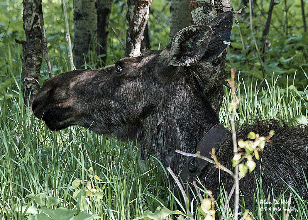 Female Moose in Grand Teton National Park