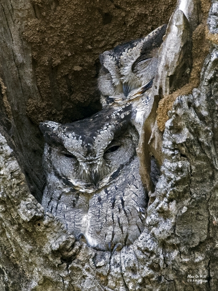 Pair of Scops Owls in Bandhavgarh National Park