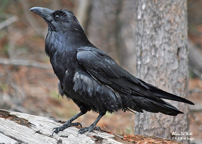 Raven in Yellowstone National Park