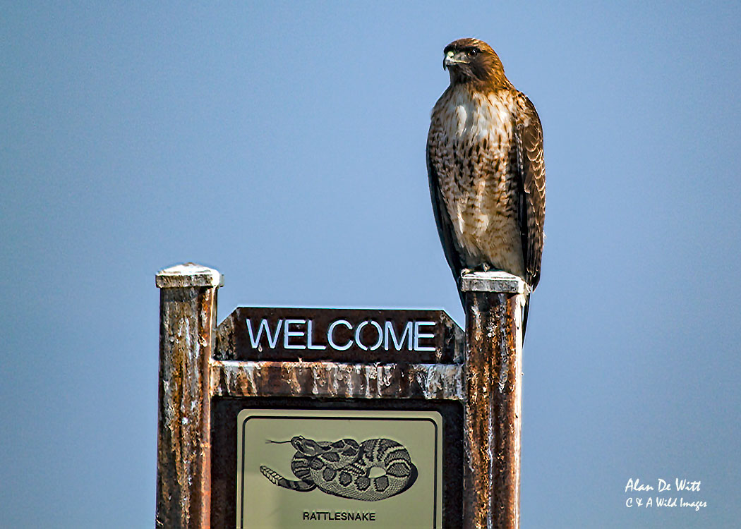 Red Tailed Hawk at Wind Wolves Preserve, California