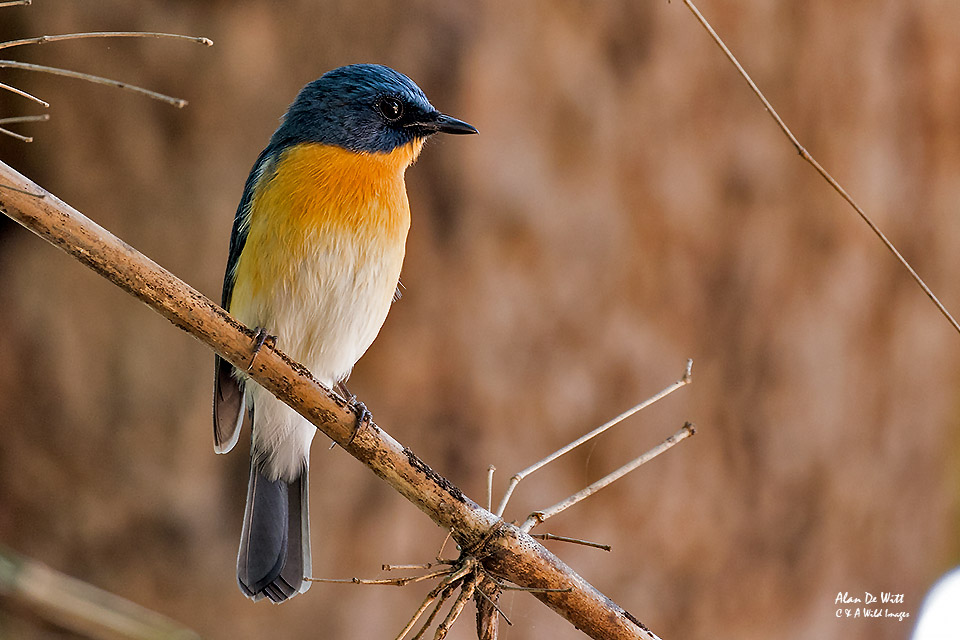 Tickell's Bue Flycatcher at Bandhavgarh Jungle Lodge