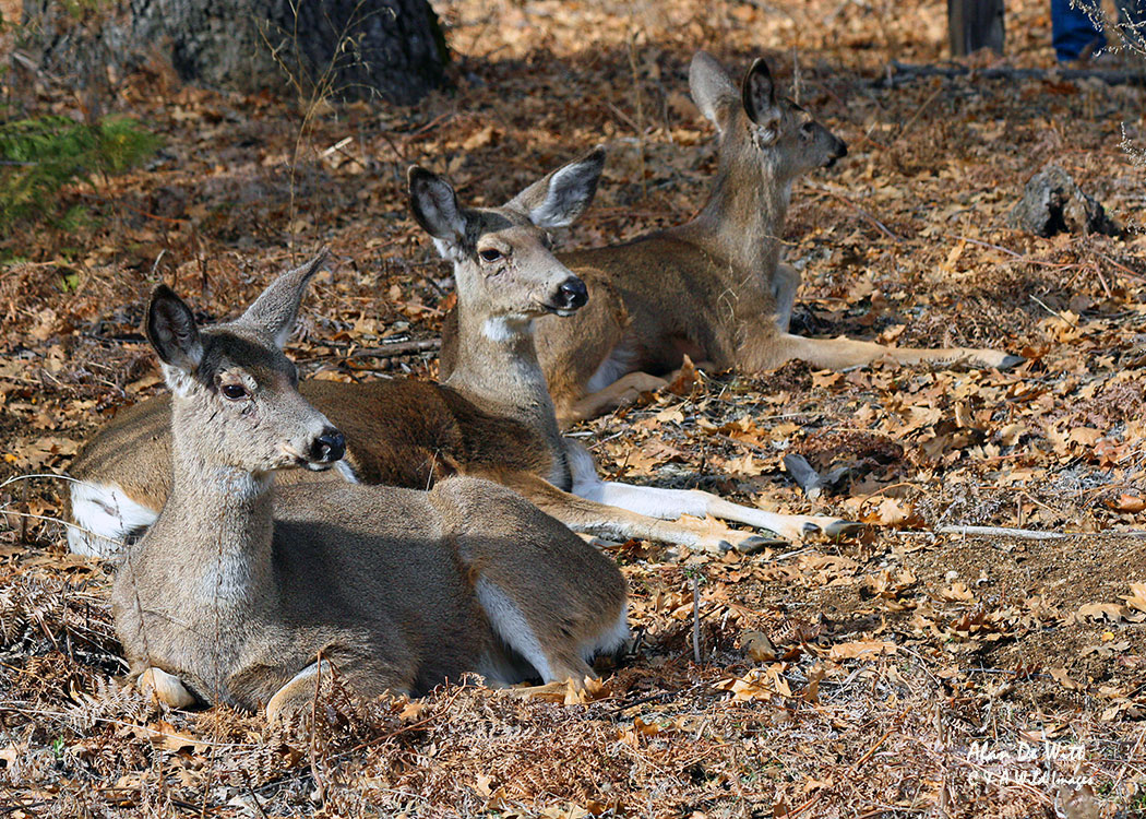 White Tailed Deer in Yosemite National Park