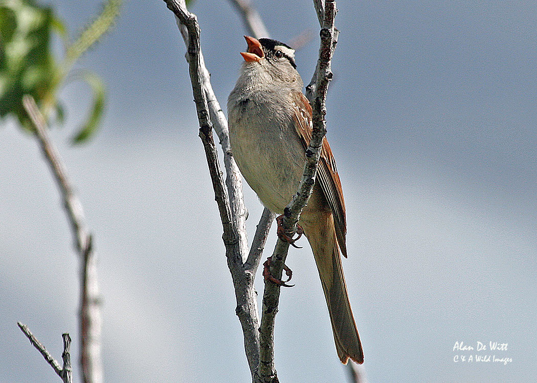 White crowned sparrow in Yellowstone National Park