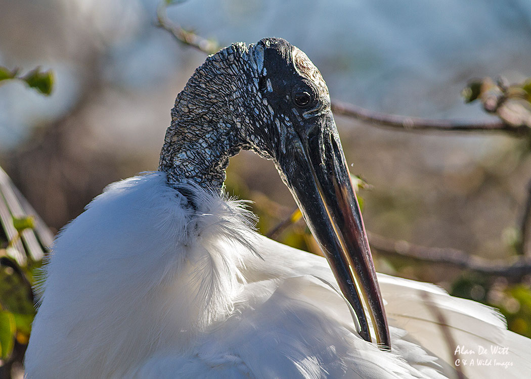 Wood Stork Florida at Wakodahatchee Wetlands