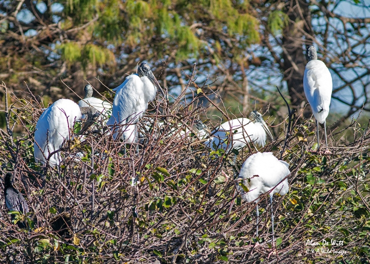Wood Stork Rookery at The Wakodahatchee Wetlands