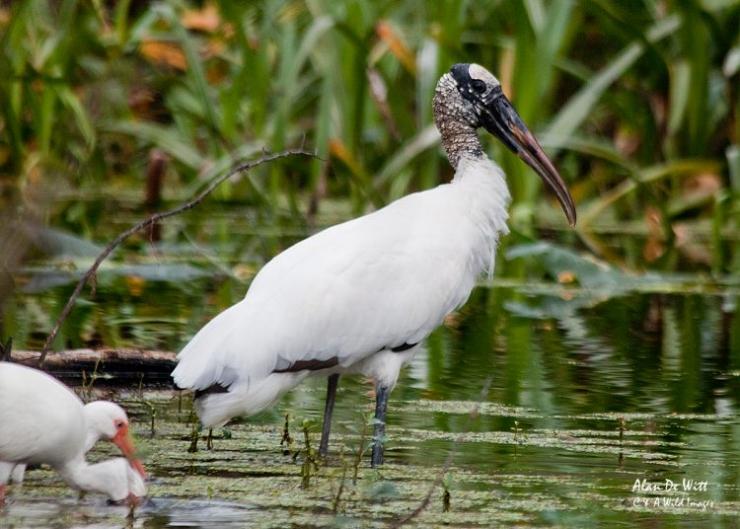 Wood Stork at River Bend Park Florida