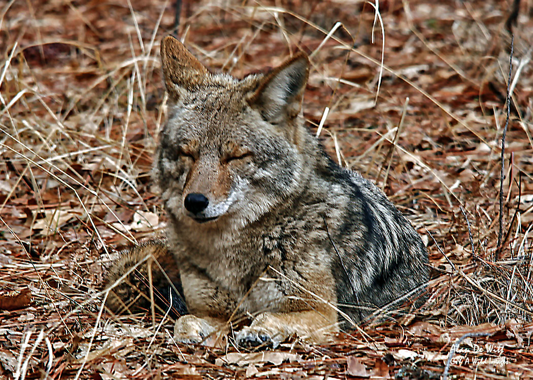Coyote resting  in Yosemite National Park