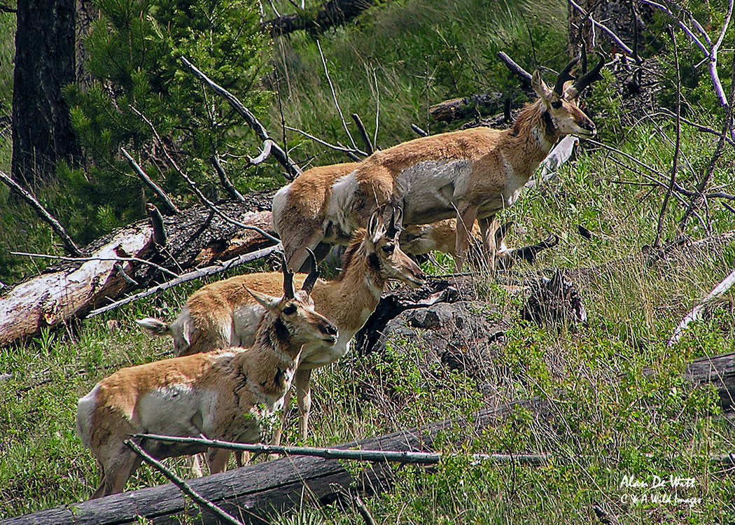 Pronghorns in Yellowstone National Park