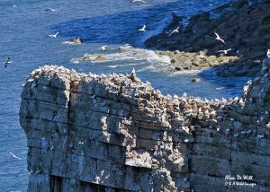 Gannets nesting on Bempton Cliffs