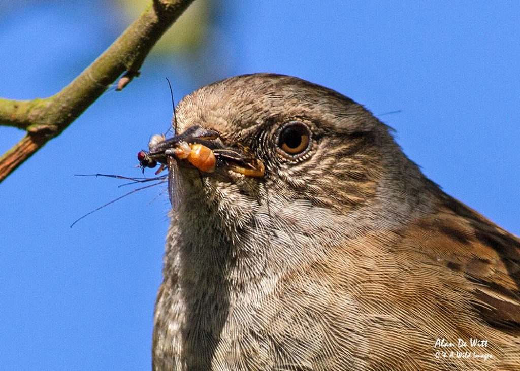Breeding strategies of the Dunnock