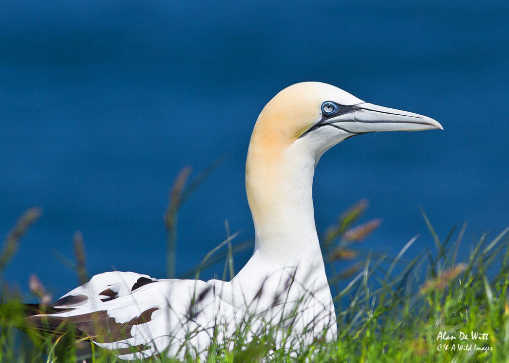 Gannet on Cliff tops