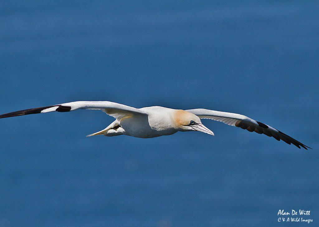 Gannet soaring